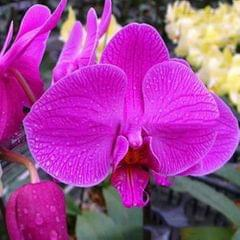 20PCS Butterfly Orchid Seeds Phalaenopsis Bonsai Flower Seed - Type 4