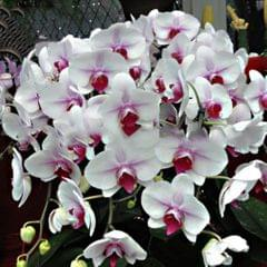 20PCS Butterfly Orchid Seeds Phalaenopsis Bonsai Flower Seed - Type 1