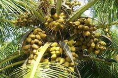 Coconut Fruit Plant Dwarf Variety DxT Coconut Tree Huge Production Healthy Hybrid Plant